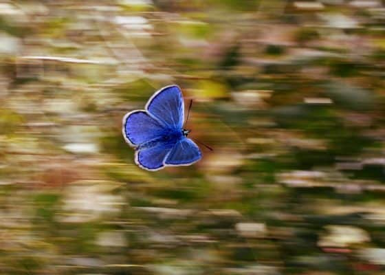 purple blue butterfly with blurred background